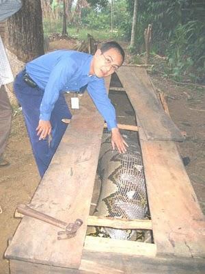 Ular Phyton Telan Manusia Di Kalimantan3