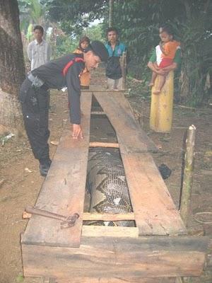 Ular Phyton Telan Manusia Di Kalimantan